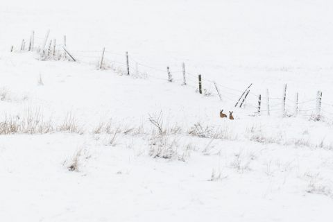Two hares in snow